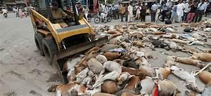 Envenenan A 700 Perros Callejeros En Pakist U00e1n  Foto