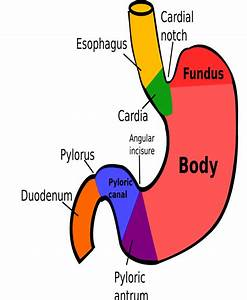 Parts Of Stomach  U2013 Homeopathy For All