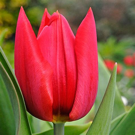 bulbi di tulipano in vaso bulbi tulipano oscar bulbishop it
