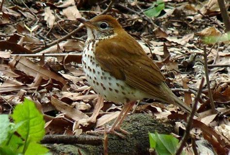 wild birds unlimited brown bird with speckled chest