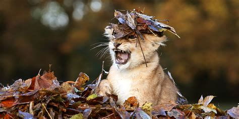 adorable lion cub loves playing  autumn leaves