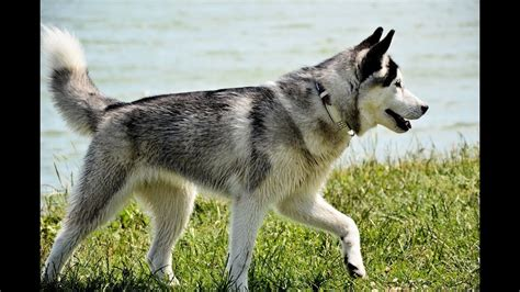 northern inuit dog breed youtube