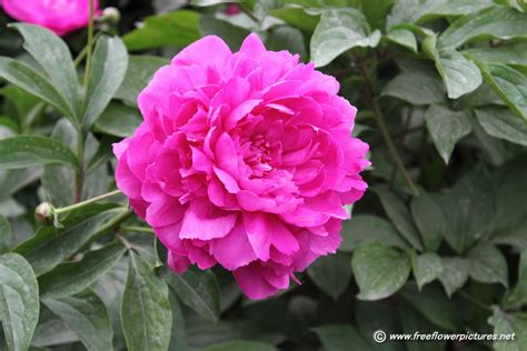 pictures of peonies peony flower picture flower pictures 998