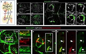 A Novel Perivascular Cell Population In The Zebrafish Brain