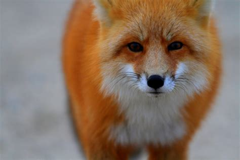 best fox pictures the 9 best dads of the animal kingdom