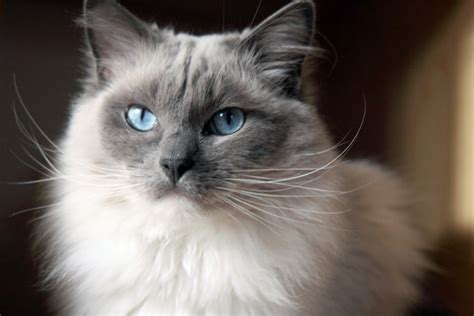 Ragdoll Cat Breed Profile