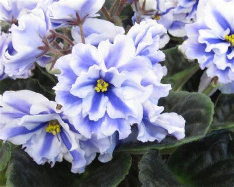 grow african violets diy