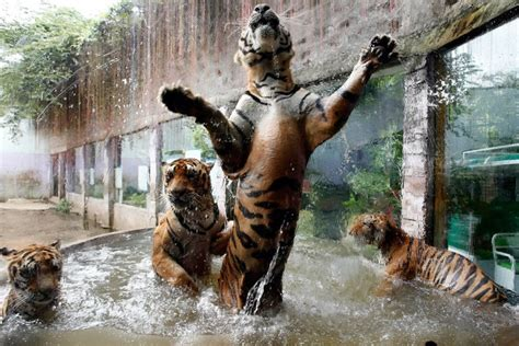 tiger bengal facts cubs cats tigers water extinction brink iconic international swimming pool zoo seven past days week play reuters