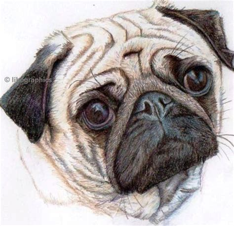 pug dog drawing  coloured pencil colored pencil