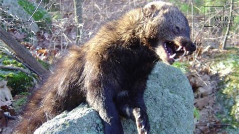 Interesting Facts About Fisher Cat By Weird Square