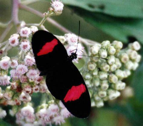 trinidad  tobago butterfly photo galleries