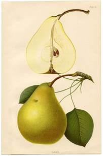 Pear Botanical Print