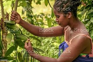 Manual Pollination Of Vanilla Stock Photo  U0026 More Pictures