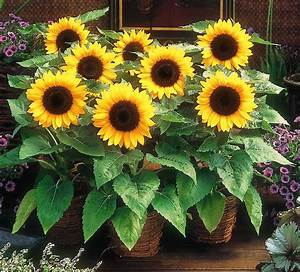 SUNSPOT - DWARF SUNFLOWER - 25 seeds Helianthus Annuus ...