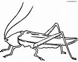 Cricket Insect Drawing Locust Coloring Getdrawings Clipartmag Clipart sketch template