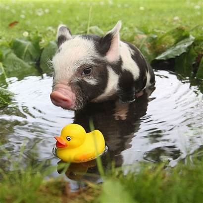 Micro Pig Animals Pigs Piggy Teacup Adorable