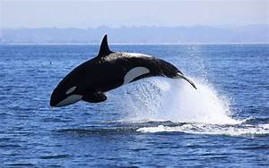 Killer Whale | Animal Wildlife