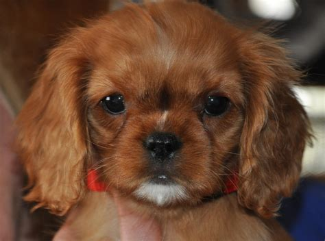 small dog breeds that dont shed newhairstylesformen2014 com