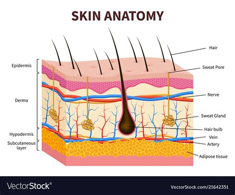 Hair Anatomy Diagram by Human Skin Layered Epidermis With Hair Follicle Vector Image
