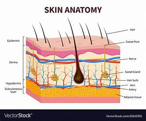 Human Skin Layered Epidermis With Hair Follicle Vector Image
