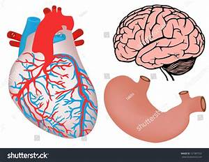 Human Organs Human Heart Stomach Brain Stock Illustration