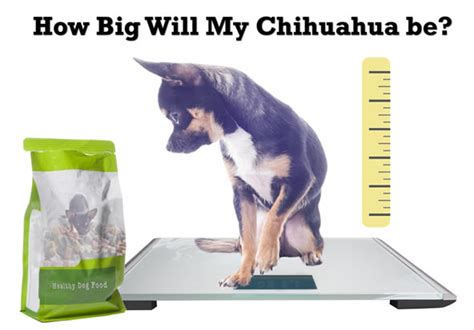 chihuahua growth chart