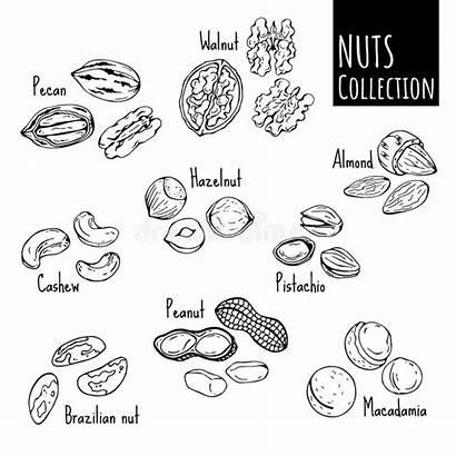 Nuts Muttrar Coloring Printable Sketch Dei Illustrationer