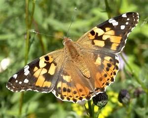 Bedeutung Schmetterling In Der Wohnung : distelfalter wikipedia ~ Watch28wear.com Haus und Dekorationen
