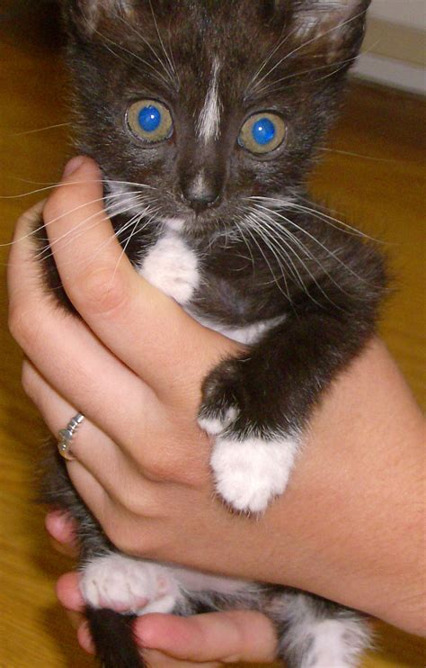 file polydactyl kitten jpg wikimedia commons