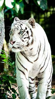White Tiger 4K Wallpapers | HD Wallpapers | ID #30612