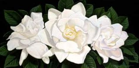 Gardenia Picture by About Gardenias A Secret Bloomnation