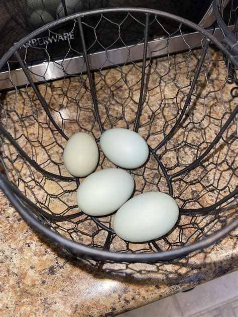 Signs Your Chicken is About to Start Laying Eggs