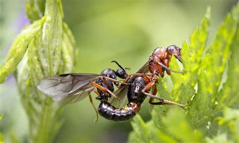 Fliegende Ameisen Bei Der Paarung (hochzeitsflug) Foto