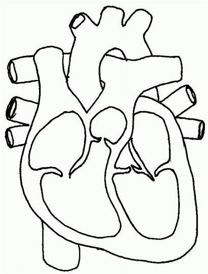 Coloring Pages Circulatory System Heart Diagram Medical