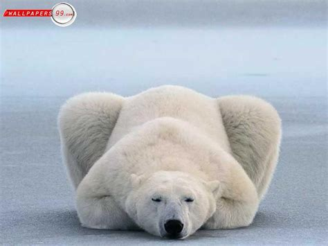 Funny Polar Bear Photos