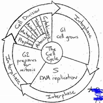 Cycle Cell Worksheet Coloring Answer Key Biology