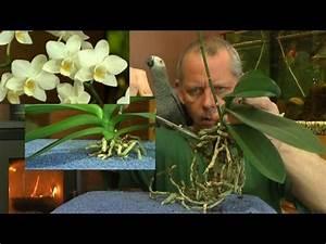 Orchideen Umtopfen Wurzeln Schneiden : phalaenopsis wurzelschnitt der orchidee youtube orchideen garten orchideen und orchideen ~ A.2002-acura-tl-radio.info Haus und Dekorationen