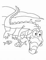 Alligator Coloring Pages Alligators American Printable Crocodiles Crocodile Krokodillen Motto Let Sheets Bestcoloringpages Krokodil Animal Dieren Getcolorings Kleurplaten Des Pirate sketch template