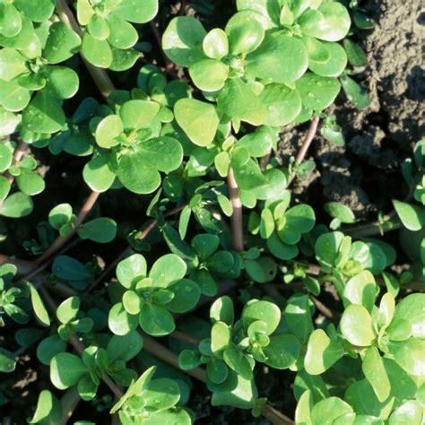 portulak pflanzen kaufen portulak gr 252 n gelb sommerportulak gem 252 se