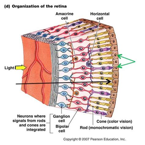 receptor cells in the retina responsible for color vision are trabecular meshwork outlander anatomy