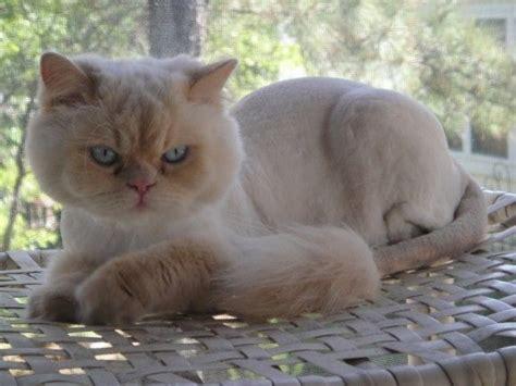 images  cat grooming  pinterest persian