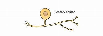 Sensory Neurons System Nervous Receptors Neuron Diagram