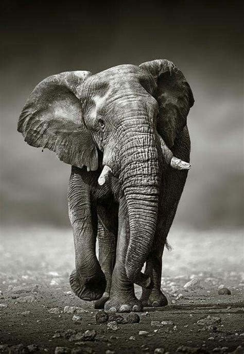 elephant photography animal illustration