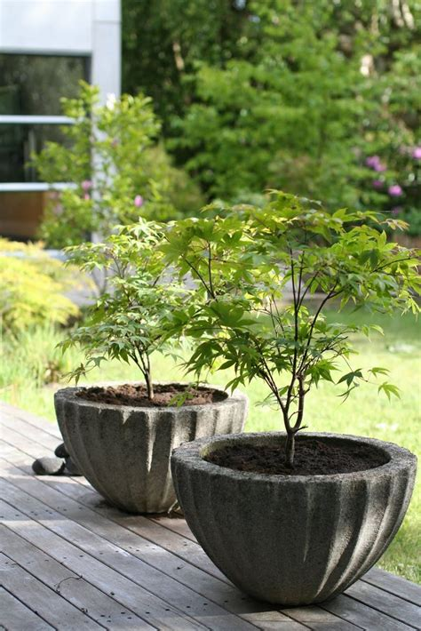 25 best ideas about japanese maple trees on japanese maple garden maple tree and