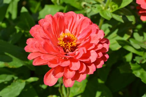 zinnia dahlia zinnia benary s giant dahlia mix green thumb advice