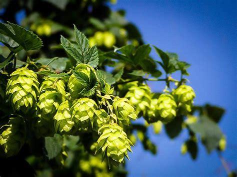 cascade hops plant  sale   tree center