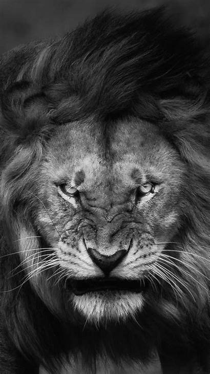 Lion Angry Face Iphone Wallpapers Animal Iphoneswallpapers
