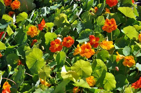 Garden Nasturtium by Maltese Nature The Garden Nasturtium