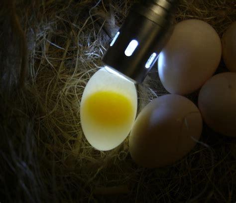 how are bird eggs fertilized how are bird eggs fertilized 28 images fertilized exotic bird eggs products cyprus