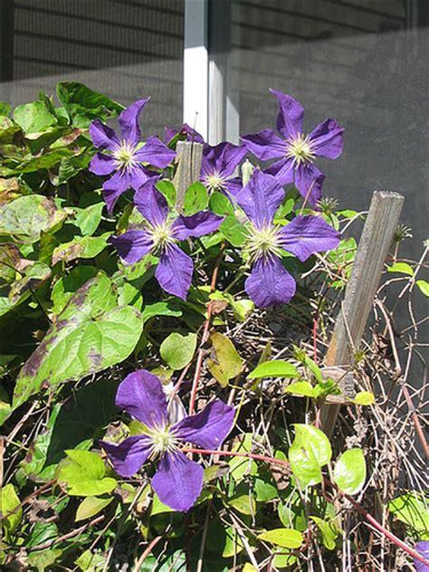 vine plant with purple flowers photo